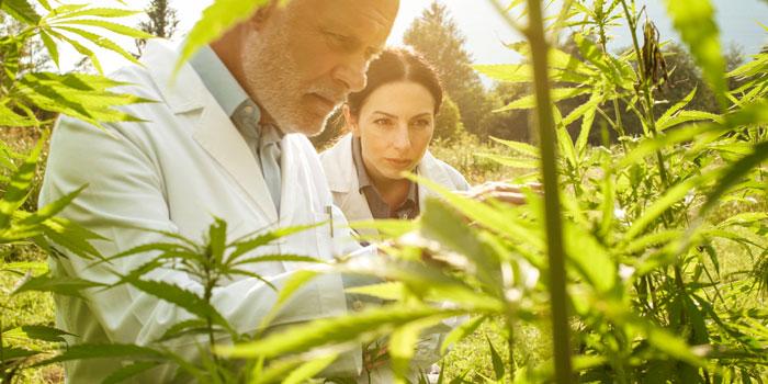大麻草を調査する研究者